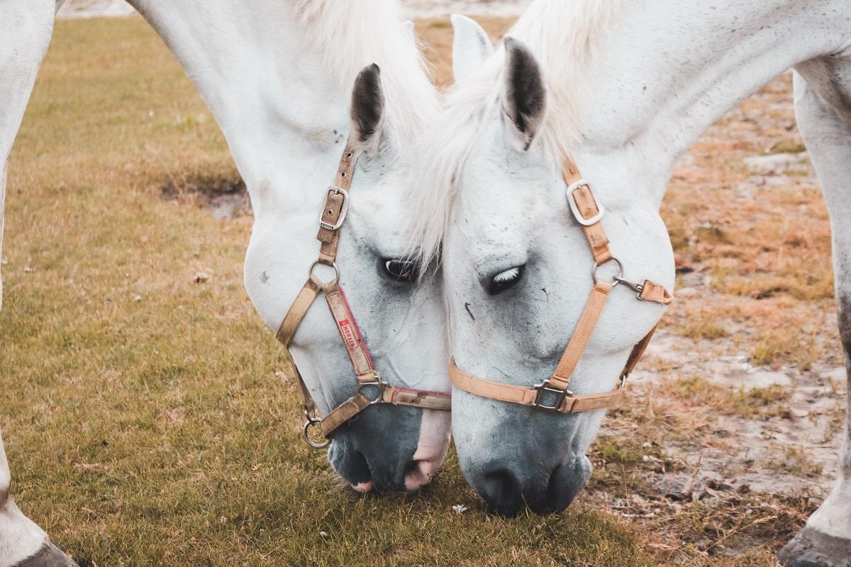 Pferdes